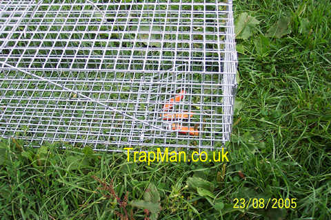 rabbit trap baiting